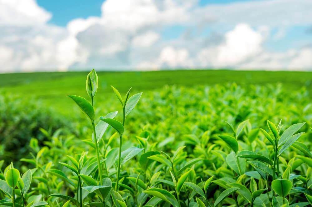Листя зеленого чаю